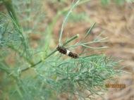 butterfly puddling caterpillars at callaway gardens 2013 (10)